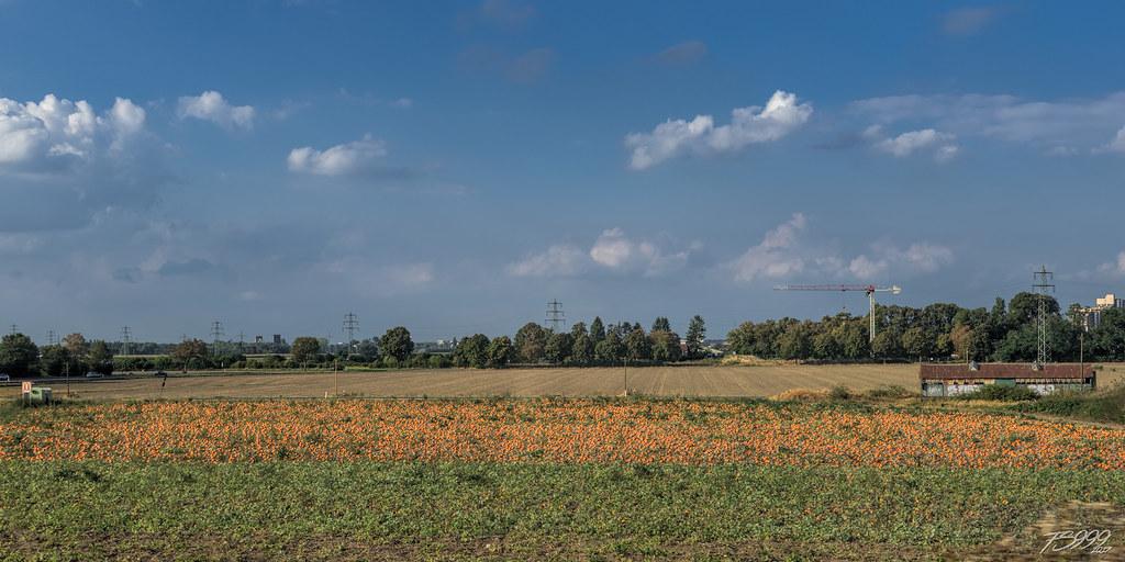 Pumpkin%20field.jpg
