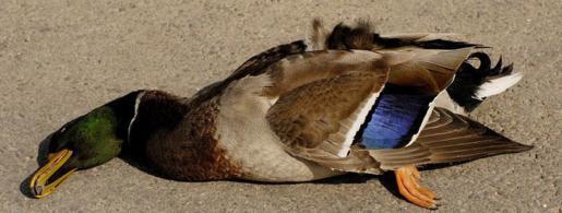 duck-173.jpg