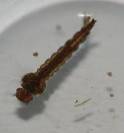 SCP-366_larva.png